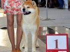 Свежее изображение Вязка собак Молодой чемпион АКИТА ИНУ приглашает дам на вязку 39309713 в Екатеринбурге