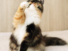 Скачать бесплатно фотографию Отдам даром - приму в дар Пинто, пушистая черепаховая кошечка 6 мес, 52075813 в Екатеринбурге