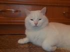 Свежее фотографию Вязка кошек Кот 3 года Белый готов к встрече с кошечкой 54324866 в Екатеринбурге