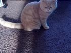 Увидеть foto Другие животные Кот на вязку породистый шотландский 55912741 в Екатеринбурге