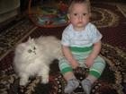 Свежее фото Вязка кошек Нужен белый пушистый кот для вязки, 57295560 в Екатеринбурге
