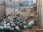 Новое изображение  разведение мясных пород гуси утки индюки 62704991 в Екатеринбурге
