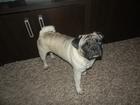 Скачать бесплатно фотографию Вязка собак Мопс кобель ищет девочку для вязки 64599133 в Екатеринбурге