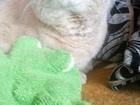 Просмотреть фотографию Женская обувь Кот для вязки ждём кошечку 66371760 в Екатеринбурге