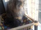 Уникальное изображение Вязка кошек Сибирская кошечка, вязка, ищем кота 66410811 в Екатеринбурге