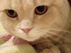 Уникальное фото  Кот на вязку кот кремовый 66639870 в Екатеринбурге