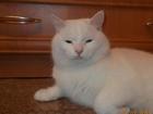 Новое изображение  Белый кот готов к встрече с кошечкой 500 р 67679689 в Екатеринбурге