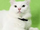Смотреть фотографию  Кошка Скалли, Строгая блондинка, 5 лет 72825729 в Екатеринбурге