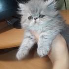 Продаются котята: экзот (мальчик) и перс (девочка)!