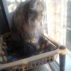 Сибирская кошечка, вязка, ищем кота