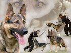 Фотография в Домашние животные Услуги для животных Мы приглашаем всех желающих с собаками любых в Елабуге 14500
