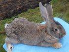 Увидеть foto Грызуны Чистокровные кролики 33972255 в Гатчине