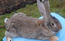 Чистокровные кролики