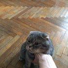 Срочно отдам шотландского вислоухого кота в хорошие руки