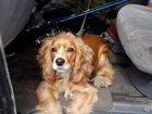 Свежее изображение Вязка собак Ищем друга для вязки 33691360 в Хабаровске