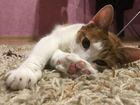 Фотография в Кошки и котята Вязка Красивая кошечка ищет для вязки красивого в Хабаровске 0