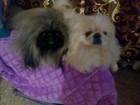 Увидеть фотографию Вязка собак Мальчишки пекинеса с документами опытные ищут девочек для встречи 50420824 в Хабаровске