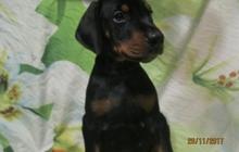Продам щенков Добермана - кобели