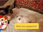 Фото в   Бирмские котята в добрые и заботливые руки. в Щелково 3000
