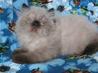 Фотография в   Гималайский красавец - персидский котик колор-пойнт в Щербинке 8000