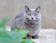 Вязка прямоухий кот Имеются родословная и сан книжка)остап бендер ждет невест на
