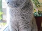 Скачать foto Вязка кошек Ищем очаровательную вислоухую шотландскую кошечку 32716900 в Иркутске