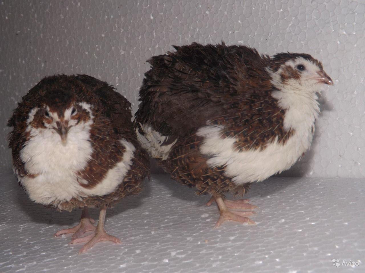 аллергия на перепелов птиц симптомы