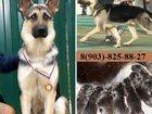 Фотография в Собаки и щенки Продажа собак, щенков Замечательные щеночки от овчарки) Крупные в Иваново 0