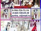 Фотография в Собаки и щенки Продажа собак, щенков Красивые, добрые и умные щенки хаски продаются в Иваново 111