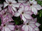 Свежее foto Растения Садовые растения 32668521 в Иваново