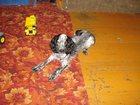 Просмотреть foto Вязка собак девочка ищет кабеля для вязки 33164020 в Иваново