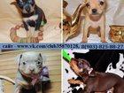 Изображение в Собаки и щенки Продажа собак, щенков ТОЙ-ТЕРЬЕРА красивееееенных щеночков разных в Иваново 7500