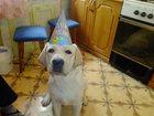 Изображение в Собаки и щенки Вязка собак Лабрадор мальчик, палевого цвета с родословной в Иваново 0