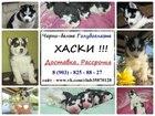 Фото в Собаки и щенки Продажа собак, щенков ХАСКИ ярких щеночков черно-белого окраса в Иваново 0