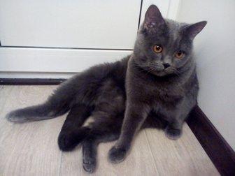 Просмотреть фото Отдам даром Срочно отдам британского котенка за шоколадку) 33095458 в Иваново