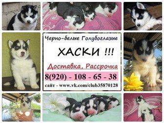 Сибирский хаски фото в Иваново