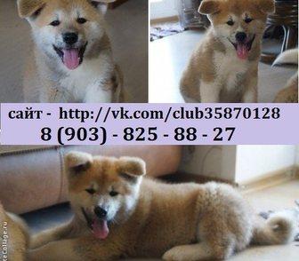 Фотография в Собаки и щенки Продажа собак, щенков Акита-ину (Японская Акита) чистокровных щеночков в Иваново 0