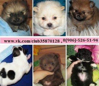 Изображение в Собаки и щенки Продажа собак, щенков ШПИЦА чистокровных и не чистокровных щеночков в Иваново 0