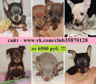 Изображение в Собаки и щенки Продажа собак, щенков Дёшево продам красивых щенков той-терьера, в Иваново 6500