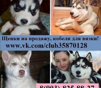 Фото в Собаки и щенки Продажа собак, щенков ХАСКИ чистокровных щеночков разных окрасов в Иваново 0