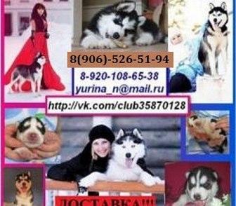 Фотография в Собаки и щенки Продажа собак, щенков В продаже чистокровные щеночки хаси, хороший в Иваново 0