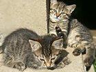 Фотография в  Отдам даром - приму в дар Умные, ручные, здоровые котята, приучены в Ивантеевке 5