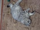 Фотография в   Британский вислоухий кот ищет кошечку для в Ижевске 0