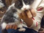 Фото в Кошки и котята Продажа кошек и котят Отдам пушистую девочку в добрые руки. Окрас в Ижевске 0