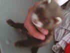 Смотреть изображение Другие животные срочно продам хорьков не дорого 38537975 в Ижевске