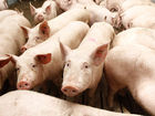 Уникальное изображение Другие животные Продаю свиней 38852003 в Ижевске