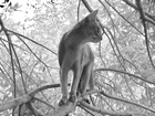 Новое foto  Вязка с котом абиссинец, Опытный) 68529520 в Ижевске