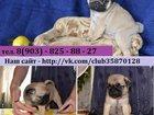 Фото в Собаки и щенки Продажа собак, щенков В продаже красивые щенки мопса по хорошим в Ярославле 0