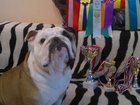 Фото в Собаки и щенки Вязка собак Кобель предлогается для вязки : Чемпион России в Ярославле 15000