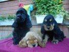 Изображение в Собаки и щенки Продажа собак, щенков продаются щенки английского кокер спаниеля в Ярославле 7000